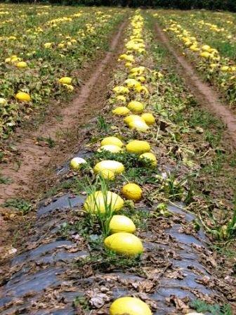 Proizvodnja melon se je podvojila z uporabo EM tehnologije